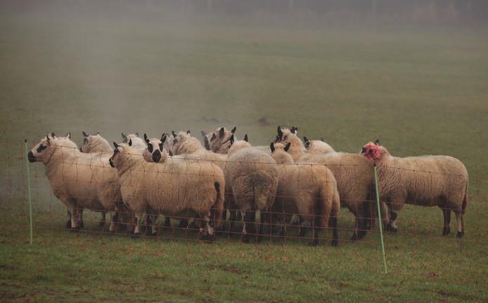 Het schaap met het bebloede oor staat hier tussen de rest van de kudde.