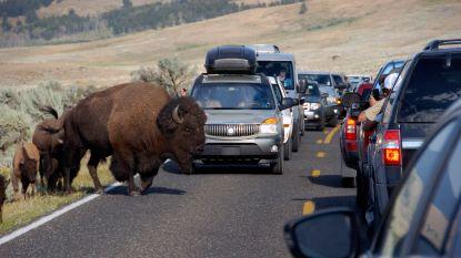 Bizon valt vrouw aan in Yellowstone
