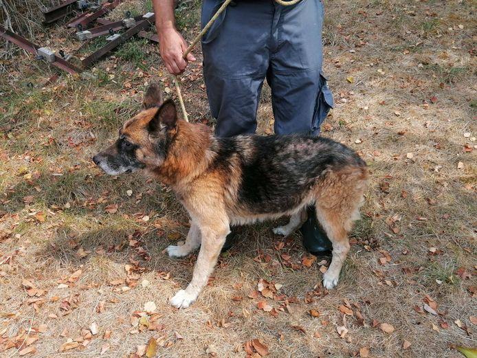 Un des chiens retrouvés en manque total de soins à Lodelinsart (Charleroi)