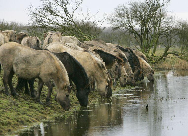 Een kudde Konikpaarden drinkt water in het natuurgebied Oostvaardersplassen. Beeld ANP