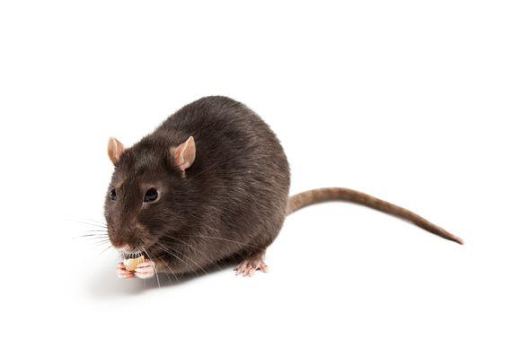 RATO vzw kan ingeschakeld worden voor de verdelging van de bruine rat.