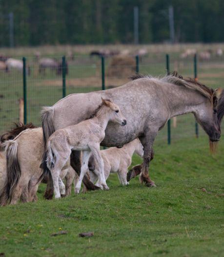 Konikpaarden uit Oostvaardersplassen toch later naar Wit-Rusland