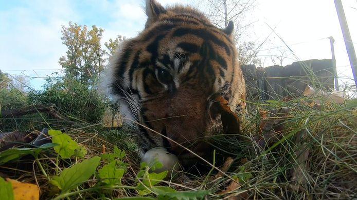 De tijger van Burgers' Zoo verslindt een zwanenei.