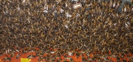 Half miljoen bijen in beslag genomen in Veldhoven, eigenaar 'had geen verstand van zaken'