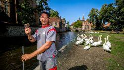 Paniek in Brugge: al drie zwanen gestorven door bacterie