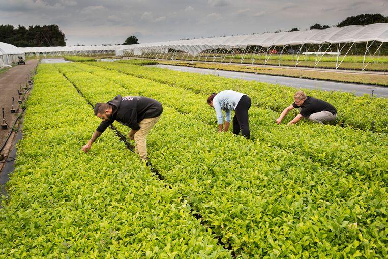 Theeplanten op Nederlandse bodem, in Zundert. Beeld Arie Kievit