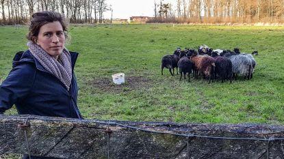 Zo kan je ook aan bosbeheer doen: schapen grazen heide af in Ieperse Galgebossen