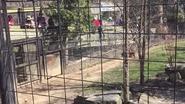 Vrouw duikt tijgerverblijf in om verloren petje te pakken