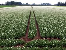 Nieuw aardappelras is supersterk, en dat scheelt een hoop gif