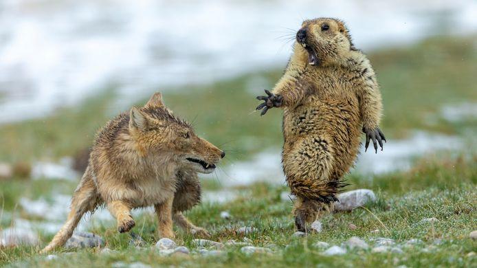 De winnende foto:  een Tibetaanse vos jaagt een marmot de stuipen op het lijf.