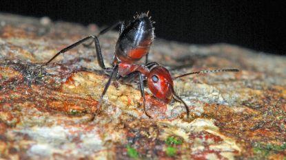 Alcohol zorgt in de hersenen voor dezelfde beloning als seks: zelfs een seksloze fruitvlieg gaat aan de drank