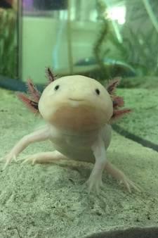 Mannetje blijkt vrouwtje te zijn, nu zit Brabants laboratorium met kraamkamer vol baby-axolotls