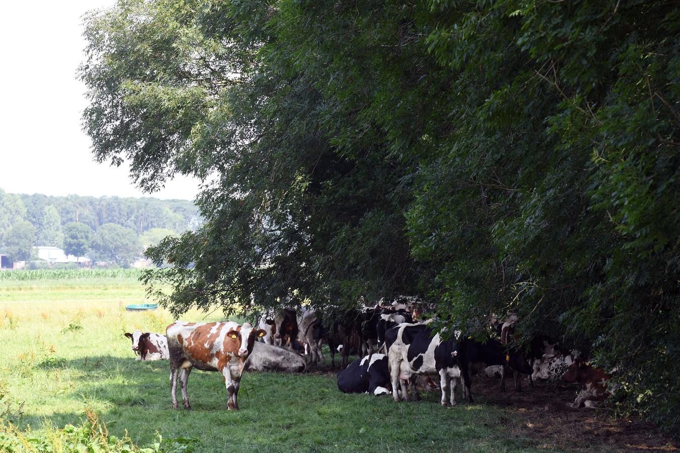 Rondom natuurgebieden kunnen juist koeien in de wei een belangrijke rol spelen, vindt gedeputeerde Rik Grashoff (GroenLinks).