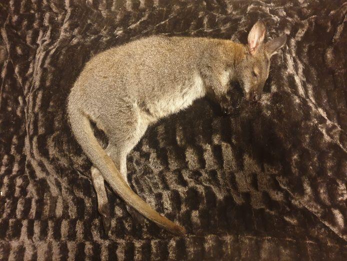 Jump, de vermiste wallaby uit Putten, is doodgegaan na een aanrijding.