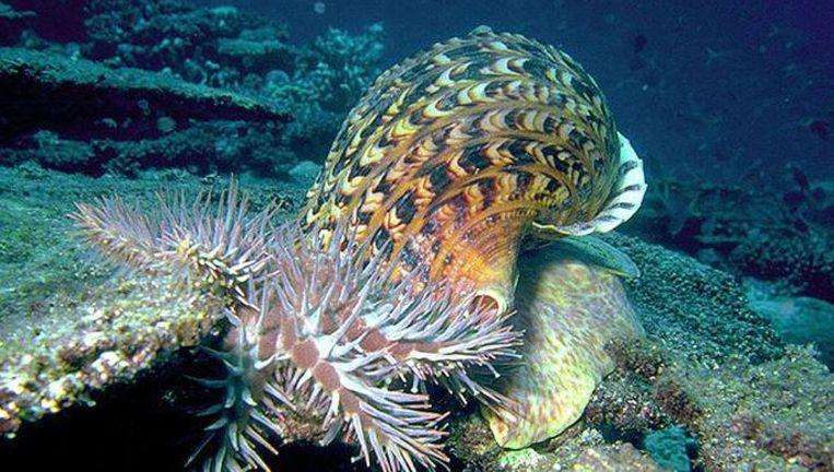 De slak, die tot anderhalve meter groot kan worden, eet de zeester waarvan miljoenen het koraalrif bedreigen.