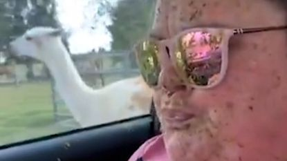 Boze lama spuwt meer dan alleen wat speeksel in gezicht vrouw