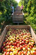 Appels plukken bij een fruitbedrijf  in Hedel