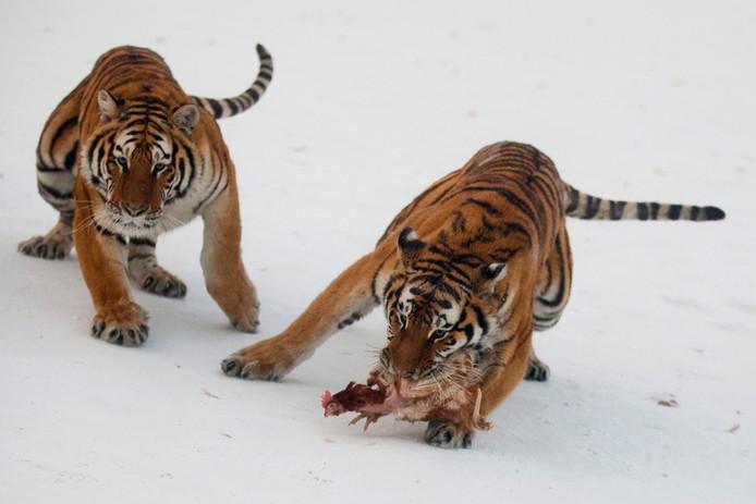 Gezonde Siberische tijgers die in China in het wild leven, zien er een stuk anders uit.