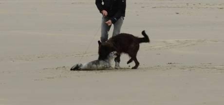 'Houd hond weg bij zeehondenpups'