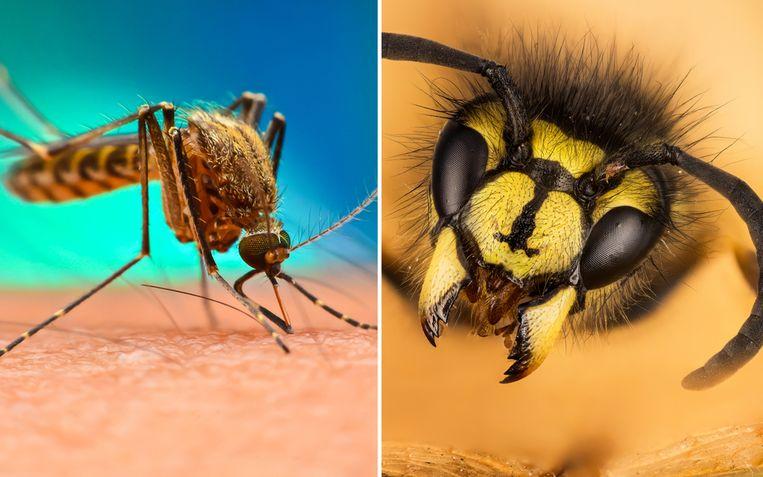 """""""Ik verwacht dat steekmuggen in grote getale gaan opduiken de komende weken"""", zegt entomoloog Wouter Dekoninck."""