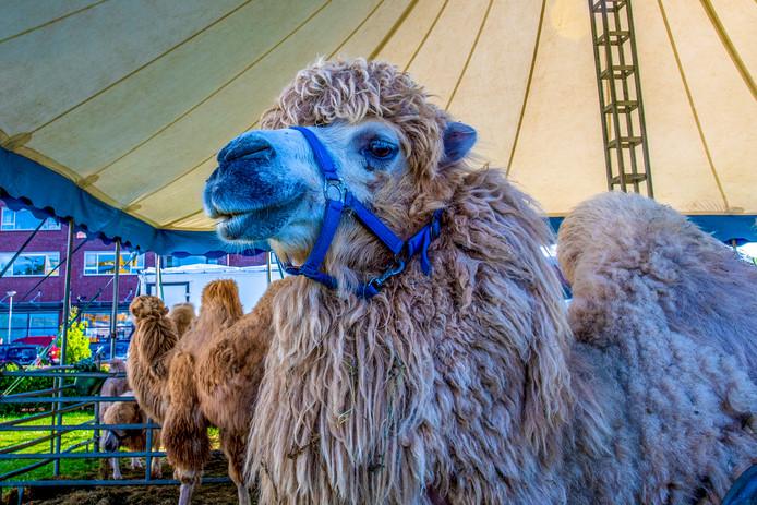 Circus Maximum is neergestreken in Steenbergen met onder andere kamelen en paarden.