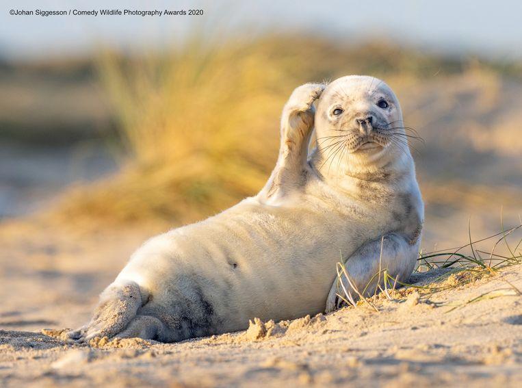 Deze zeehond in het Britse Winterton-on-Sea lijkt even de kluts kwijt.