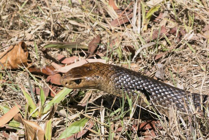 De Australische bruine slang.