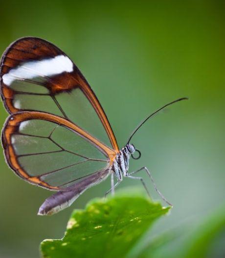 Le Greta oto: un papillon aux ailes transparentes