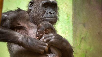 Schattige babygorilla geboren in ZOO Antwerpen