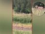 Wolf slaat opnieuw toe: drie schapen dood bij hobbyboer in Herpt
