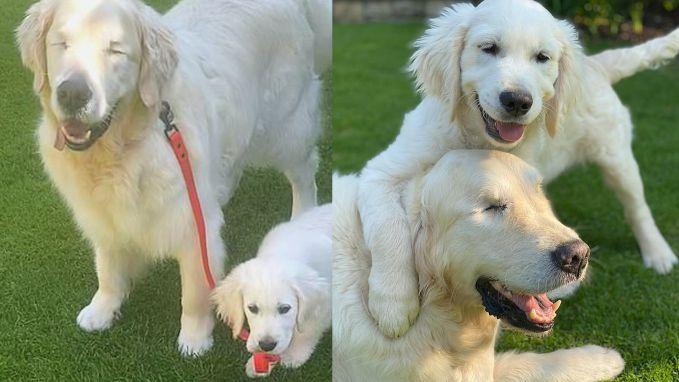 Vertederend: blinde hond heeft eigen blindengeleidepuppy