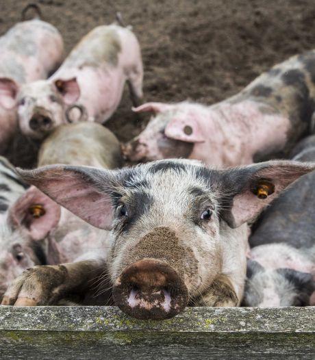 500 varkens naast een plattelandswoning in Zenderen, dat moet kunnen zegt Raad van State
