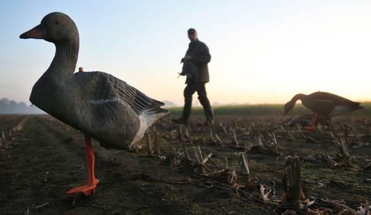 Een jager loopt met een geschoten gans oover een akker, tussen de levende ganzen door.