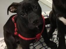 Orthopeed beslist of gebroken pootje van gedumpte pup Trip wordt geamputeerd of geopereerd