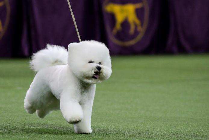 Tijdens de jaarlijkse Westminster Kennel Club Dog Show in New York is Flynn, een Bichon Frisé, tot mooiste hond van het jaar uitgeroepen. Aan de jaarlijkse competitie doen honderden honden uit heel Amerika mee. Foto Justin Lane