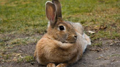 Opvallend veel konijnen sterven in Bosje van Heist