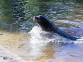 Zeven zeeleeuwen aangekomen in Safaripark Beekse Bergen