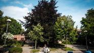 Na hetze over iconische rode beuk: stadsbestuur trekt toelating om bomen te rooien aan Lepelhof voorlopig in