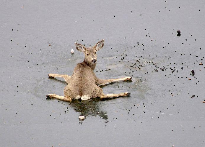 Een hert ligt hulpeloos op het ijs. Archiefbeeld.