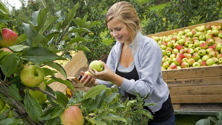 De oogst van Delcorf-appels in Asch. Beeld ANP