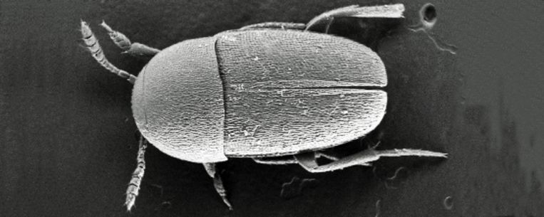 Ptomaphagus thebeatles Beeld R. van Elsas – VU