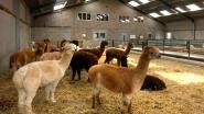 Alpacaboerderij opent staldeuren op zaterdagen