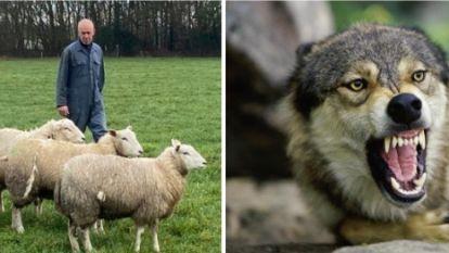Wolf verschalkt driedubbele stroomdraad en bijt zwanger schaap dood
