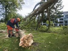 Zeldzame boom in Oldenzaal omgewaaid
