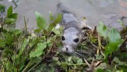Steeds meer zeehonden gespot in het binnenland
