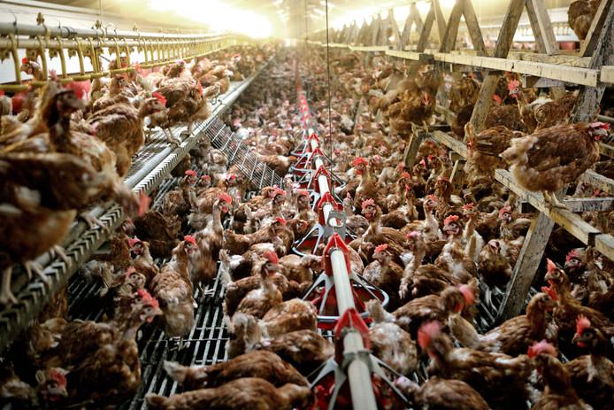 De schade voor de pluimveesector is minstens 150 miljoen euro.