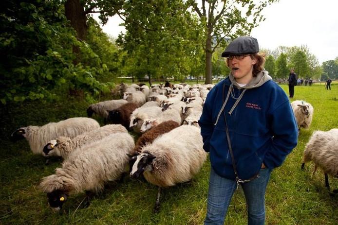 Schaapherder Killie Annen stuurt haar schapen voor het eerst het Zwolse groen in. foto Frans Paalman