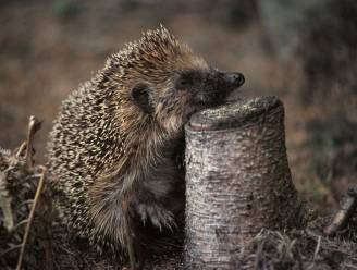 "Natuurhulpcentrum kreeg 11.000 gewonde dieren binnen, waaronder véél egels: ""Een Europees record"""