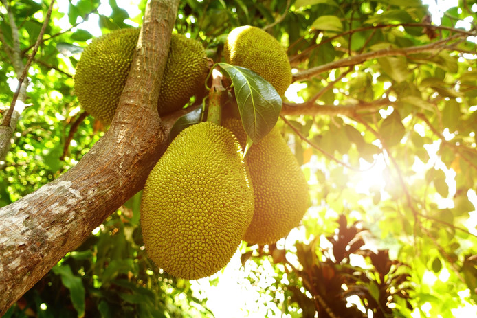 Jackfruit groeit aan bomen in Zuid-Oost-Azië.