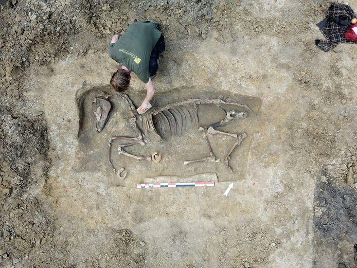 Bij de opgravingen op de Brandhoek werd een skelet van een paard of muildier gevonden.